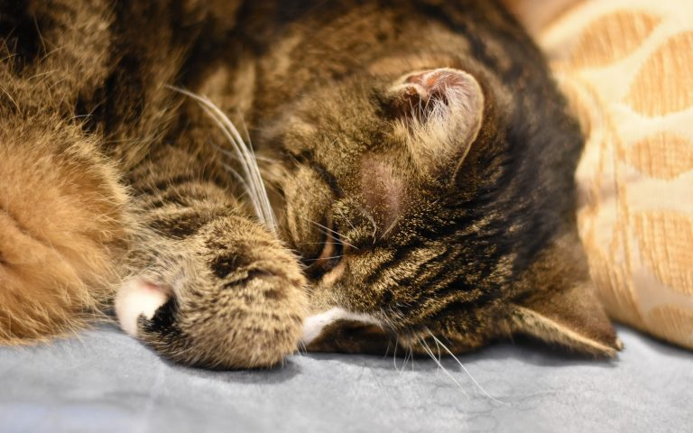 Getiegerte Katze schläft an ein Kissen gelehnt. Man sieht nur den Kopf und die eingeschlagene Vorderpfote